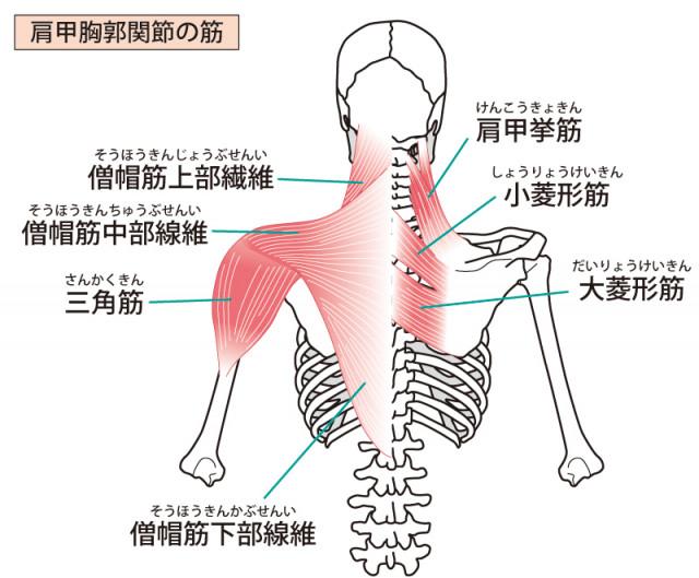 肩周囲の筋肉